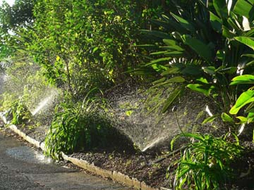 Sprinklers on Agapanthas and Birds of Paradise